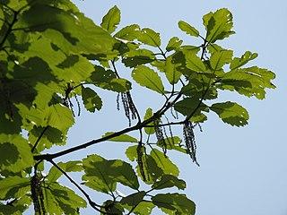 <i>Quercus aliena</i> species of plant