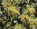 Quercus coccifera RF.jpg