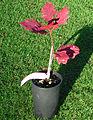 Quercus coccinea sapling.jpg