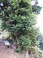 Quercus salicina5.jpg