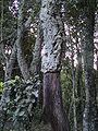 Quercus suber6.JPG