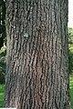 Quercus velutina 4zz.jpg
