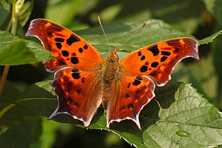 <i>Polygonia interrogationis</i> species of insect