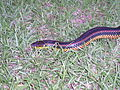 Rainbow Snake taken in Southern Georgia in June 2003.jpg
