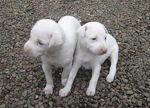 Rajapalayam dog - Rajapalayam Puppies