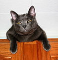 Ramone the Russian Blue cat (July 2004).jpg