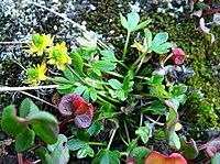 Ranunculus hyperboreus upernavik 2007-07-30