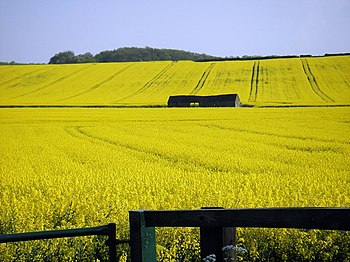 English: Rape Seed field outside Polebrook