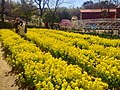 Rape blossoms in Nagoya Agricultural Center - 1.jpg