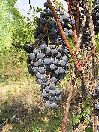 Moldovan wine - Rară Neagră - the main indigenous red variety