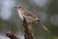 Rattling cisticola, Cisticola chiniana, at Marakele National Park, Limpopo, South Africa (23547913534).jpg