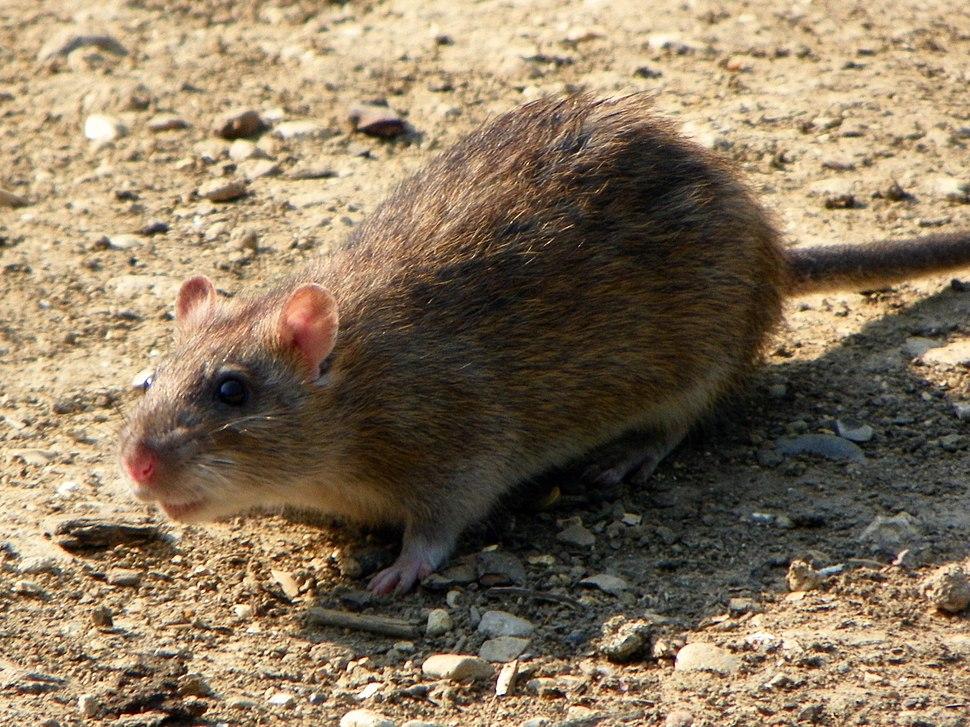 Rattus norvegicus -Fairlands Valley Park, Stevenage, England-8