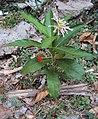 Rauvolfia serpentina 05.jpg