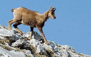 Español: Cría de rebeco en el Parque Nacional ...