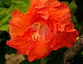 Red-Orange Hibiscus (5608358346).jpg