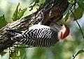 Red-bellied Woodpecker (44297554915).jpg