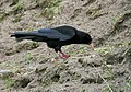 Red-billed Chough I IMG 7083.jpg