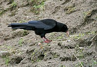 Red-billed Chough I IMG 7083