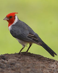 Red-crested cardinal - Oahu.jpg