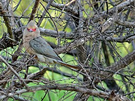 Red-faced Mousebird (Urocolius indicus).jpg