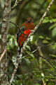 Red-headed Trogon - Malaysia MG 7157 (16121599129).jpg