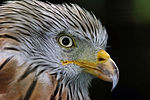 Red Kite - Suffolk Owl Sanctuary (21466424964).jpg