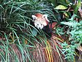 Red Panda in Taronga Zoo (3).jpg