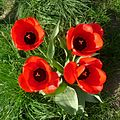 Red Tulips - Flickr - gailhampshire.jpg