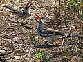 Red billed hornbill Tockus erythrorhynchus in Tanzania 3650 Nevit.jpg