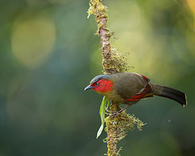 Red faced Liocichla.jpg