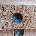 Red mason bee (Osmia bicornis) nest being sealed, Sandy, Bedfordshire (8911727613).jpg