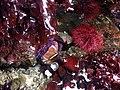 Red sea urchin (42974672662).jpg
