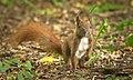 Red squirrel (51251873467).jpg