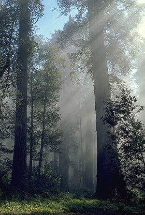 California protected areas - Redwood grove in Redwood National Park