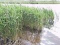 Reeds, Slapton Ley - geograph.org.uk - 69725.jpg
