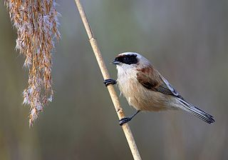 Penduline tit family of birds