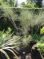 Retama monosperma - Botanischer Garten, Frankfurt am Main - DSC02370.JPG