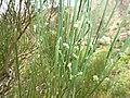 Retama rhodorhizoides - inflorescences.jpg