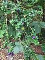 Rhaphithamnus spinosus fruit at Logan.jpg