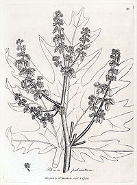 Rheum palmatum Woodville