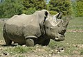 Rhino at Cotswold Wildlife Park - geograph.org.uk - 11751.jpg