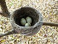 Rhipidura leucophrys nest with eggs.jpg