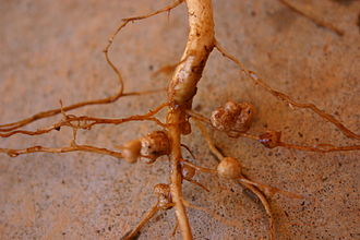 Co-operation (evolution) - Rhizobia nodules on Vigna unguiculata