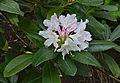 Rhododendron 1 FR 2014.jpg