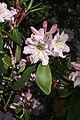Rhododendron fortunei 2.JPG