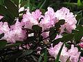 Rhododendron sp. 001.JPG