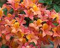 Rhododendron x gandavense (undetermined hybrid) (27532361885).jpg