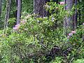 Rhododendrons botw.jpg