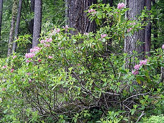 Bull of the Woods Wilderness - Image: Rhododendrons botw