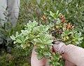 Rhodondendron lapponicum.JPG